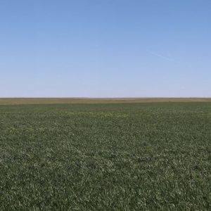 Parcel #3B View of growing wheat