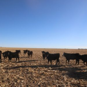 Cattle leaving water to go back to graze
