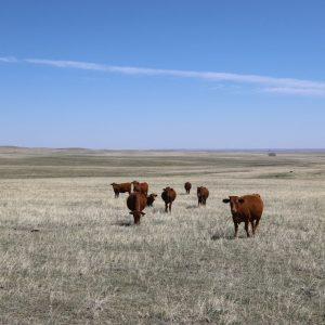 Native pasture with cattle grazing