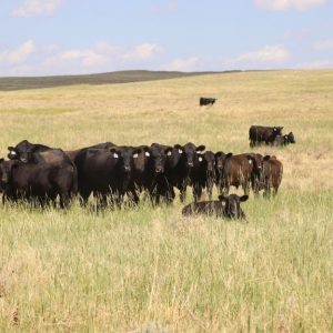 Cattle in middle pasture