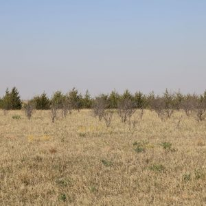 Patch of trees and shrubs on CRP