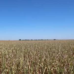 Parcel #1 - View of corn to East
