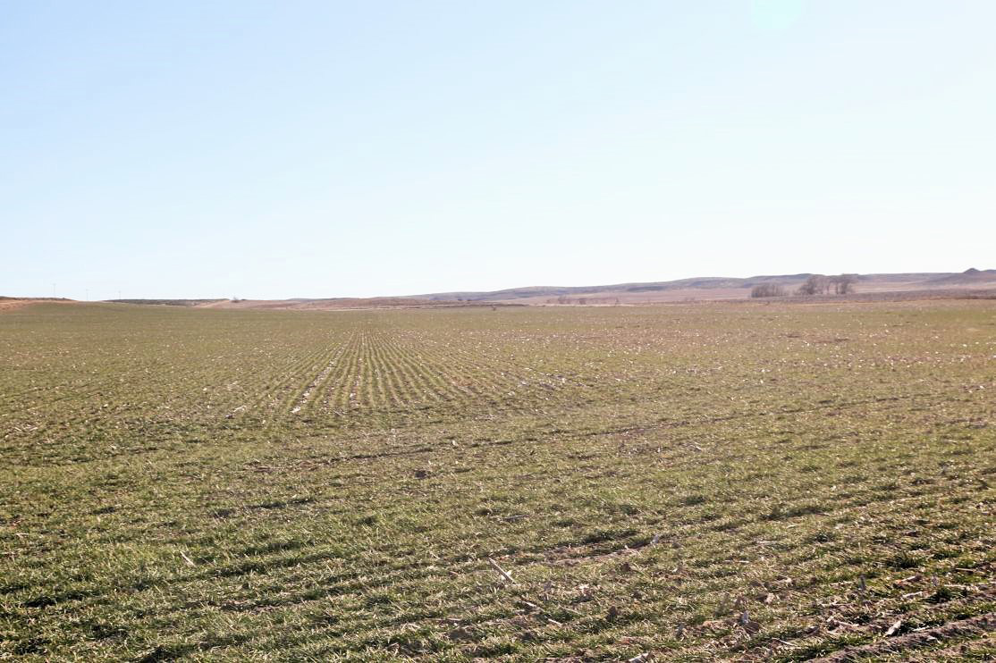 1C---wheat-on-south-parcel.jpg