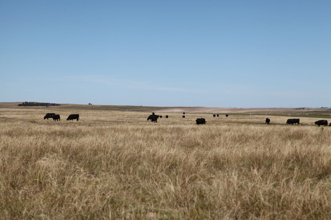 Cattle-grazing-on-south-pasture.jpg