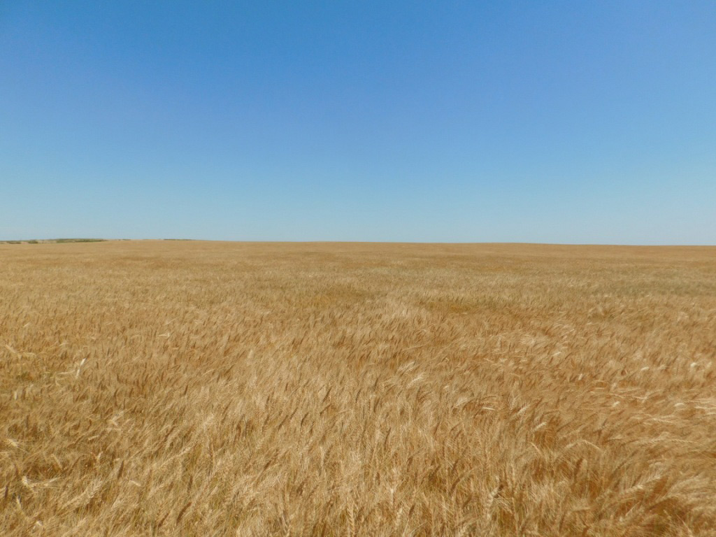 Great looking wheat crop; Yuma county dryland for sale