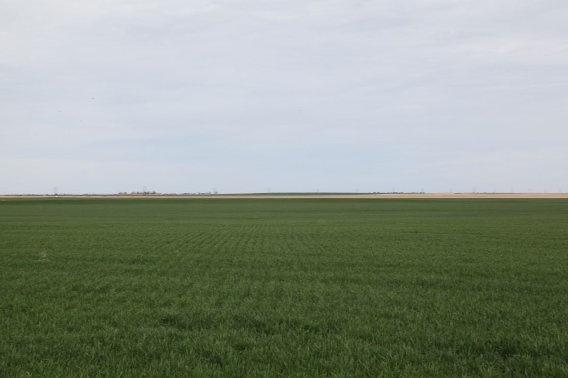 Growing-wheat-planted-last-fall.jpg