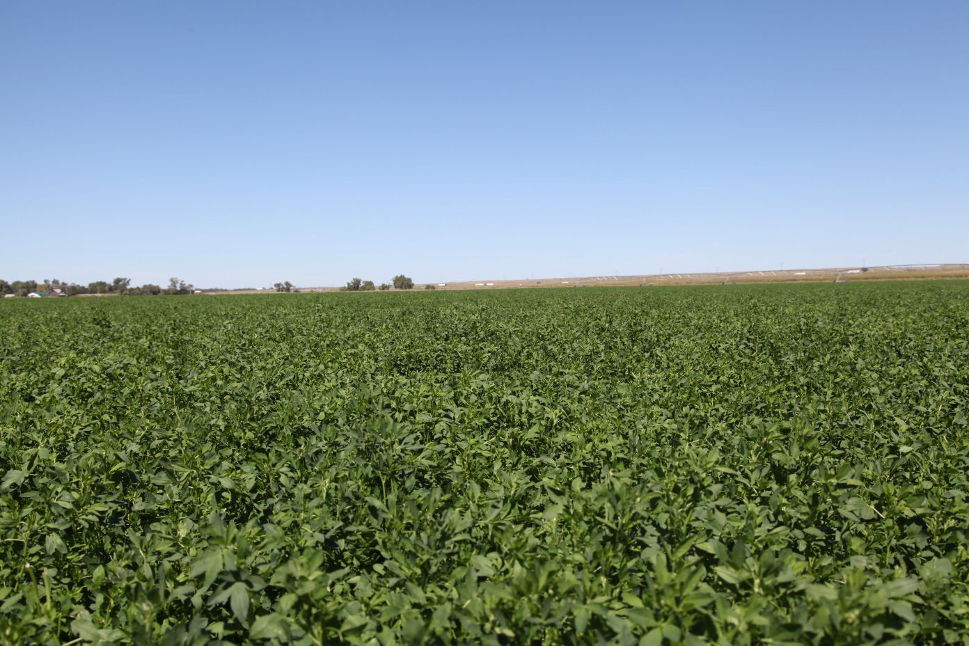 Newly-seeded-alfalfa-on-pivot-on-east-parcel.jpg