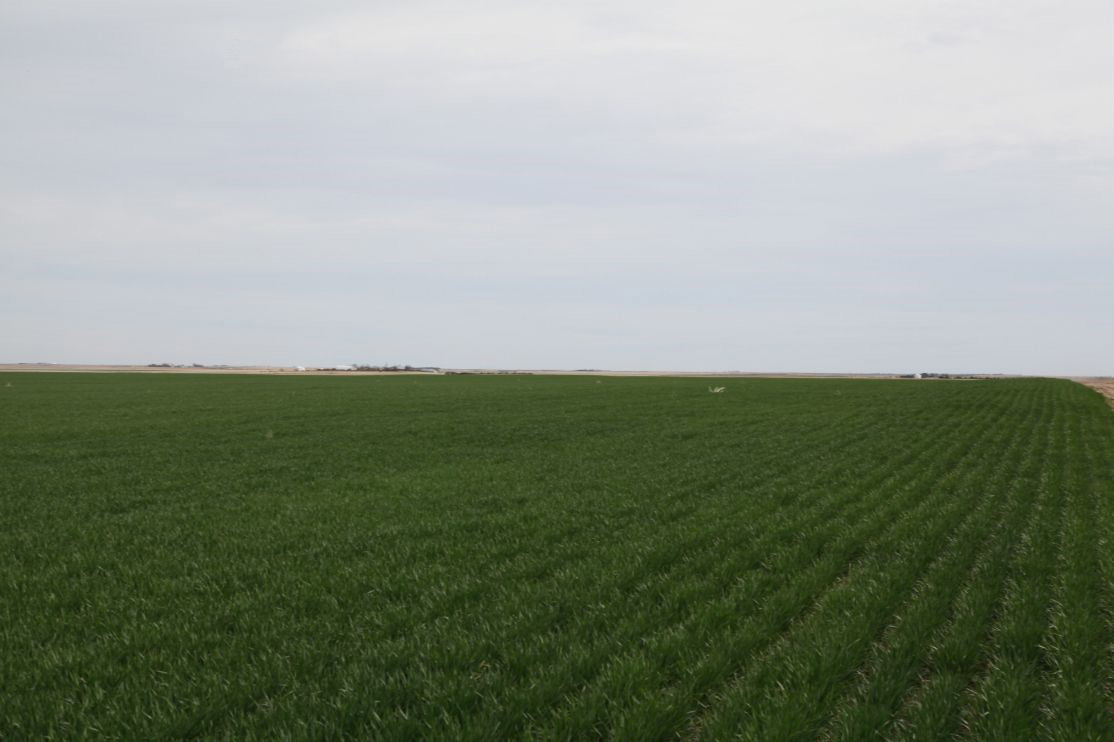 Wheat-after-last-rain.jpg