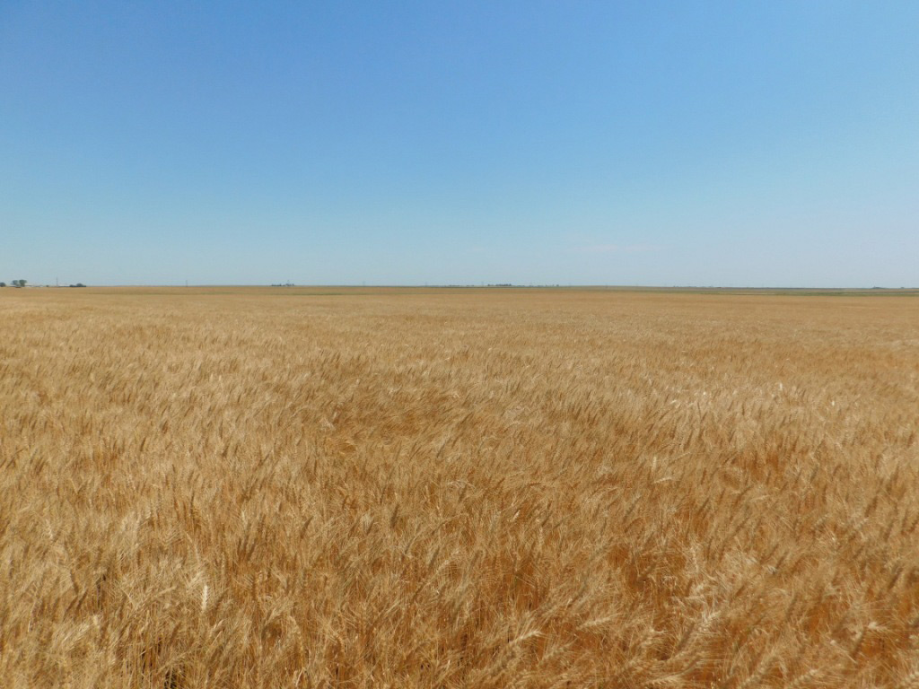 Wheat-soon-to-be-harvested.jpg